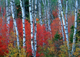 Aspens and Maples, Targhee National Forest, WY