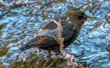 American Dipper, coming up after a dunk in the  Virgin River, Zion National Park, UT
