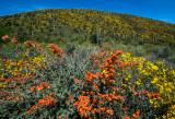Globemallow and Britlebush, Lake Pleasant Regional Park, AZ