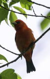 Scarlet Tanager, Magee Marsh, OH