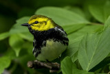 Black-throated Green Warbler, Magee Marsh, Ohio
