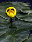 Yellow Water Lily, Ridges Sanctuary, Door County, WI