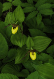 Small Yellow Lady's-slipper, Ridges Sancctury, Door Coounty, WI