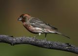 Birds of the Verde Valley, Mingus Mountain, and Prescott Valley, AZ