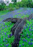 (TW2) Bluebonnets along Willow Loop Road near Fredricksberg, TX