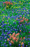 (TW15) Flax, Bluebonnets, and Texas Paintbrush, Llano County, TX