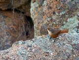 Canyon Wren