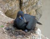 Brandt's Cormorant on nest