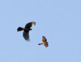 Cooper's Hawk chasing Sharp-shinned Hawk