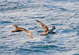 Pink-footed Shearwater