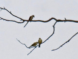 Scissor-tailed Flycatcher and hybrid young with Western Kingbird