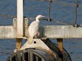 albino Brandt's Cormorant