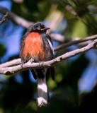 Painted Redstart