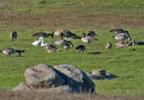 Ross's, Snow, Greater White-fronted among Canada Goose