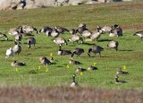 Greater White-fronted Goose among Canada Goose