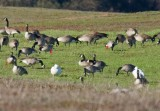 Cackling, Canada, and Snow Goose