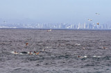 Brown Booby, Dolphins, San Diego skyline