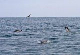 Brown Booby and Common Dolphin