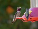 Anna's x Costa's Hummingbird