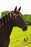 Pita, AWS registered Mare for sale