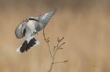 Pie-grièche grise (Northern Shrike)
