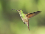 Berylline Hummingbird, female