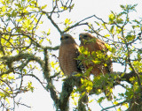Red-shouldered Hawks, pair, afterglowing