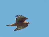 Red-shouldered Hawk, flying