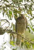 Red-shouldered Hawk, first-cycle