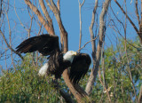 Bald Eagle, taking off, March 2017