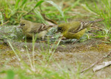 Lesser Goldfinches, female and immature male