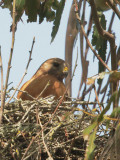 Red-shouldered Hawk, incubating