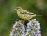 Lesser Goldfinch, first-cycle male