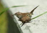Bewick's Wrens, adult feeding fledgling