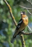 Birds--Birdathon, April 2017