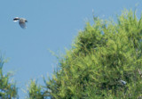 Blue-gray Gnatcatchers, flying