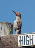Northern Flicker, Red-shafted male