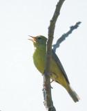 Orange-crowned Warbler, singing