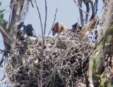 Red-shouldered Hawk, adult on nest