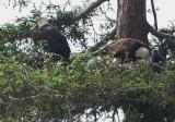 Bald Eagle family nesting, May 2017