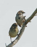 Song Sparrows, adult and fledgling
