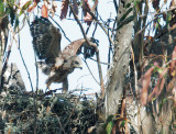 Red-shouldered Hawk, nestling, beating wings