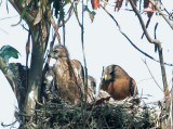 Red-shouldered Hawks, adult with two nestlings