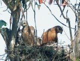 Red-shouldered Hawks, adult with nestlings