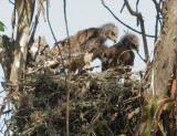 Red-shouldered Hawks, three nestlings
