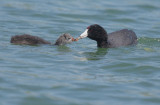 American Coots, adult feeding juvenile