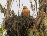 Red-shouldered Hawk, adult at nest