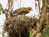 Red-shouldered Hawk, juvenile