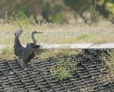 Great Blue Heron, juvenile landing, June 2017