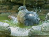 Cooper's Hawk, bathing